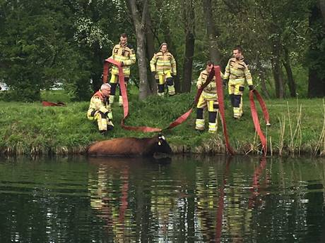 Koe neemt duik in Overijssels Kanaal in Deventer