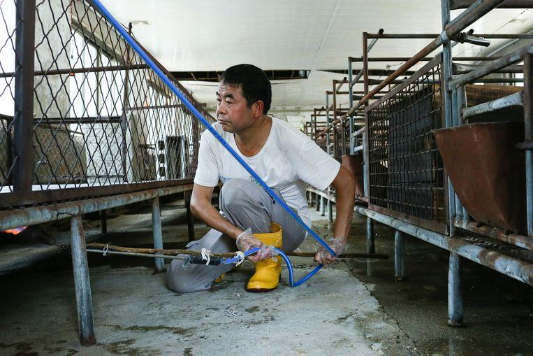 Wu is een van de weinige varkenshouders in zijn buurt die nog levende dieren heeft. Overal waar wordt gelopen, schroeit een medewerker met een gasbrander de betonvloer.  Beeld Elke S.