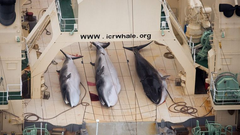 Walvissen aan boord van een Japans schip op een foto van begin vorig jaar. Beeld epa