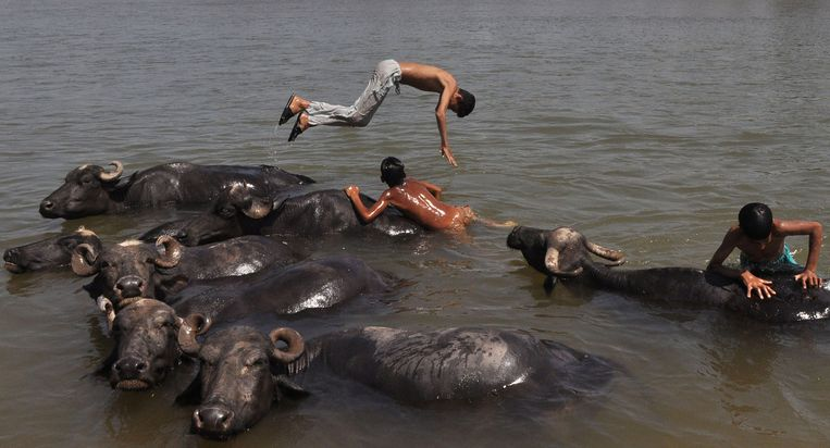 Jongens zoeken met hun buffels verkoeling in de Tawi-rivier bij de Noord-Indiase stad Jammu. Beeld AFP