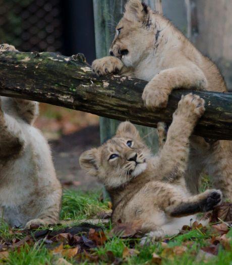 Schattig: piepjonge leeuwtjes in Blijdorp halen voor het eerst een frisse neus