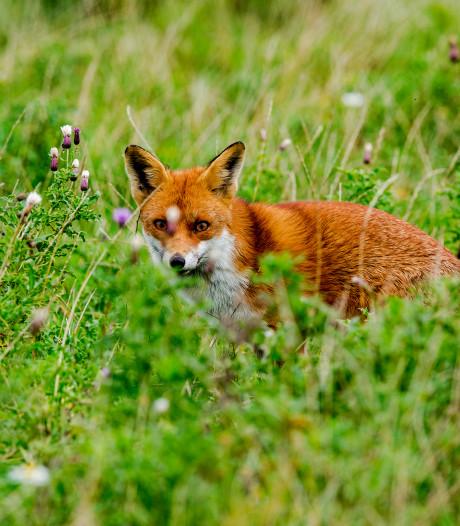 Bewijs van eerste vos in Hoeksche Waard blijkt vals, foto 'geleend'