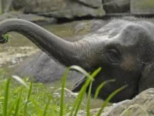 Olifantenbaby in aantocht! Bangka is weer zwanger
