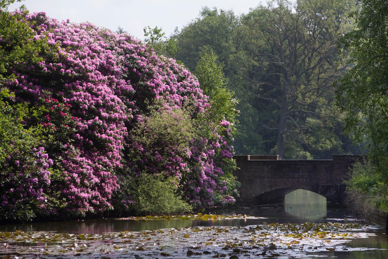 Bloeiende rododendrons bij het bruggetje van Berlage op de Hoge Veluwe.