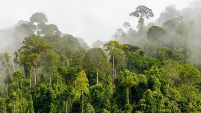 Zo lang als een voetbalveld, zo zwaar als een Boeing: maak kennis met 's werelds hoogste tropische boom