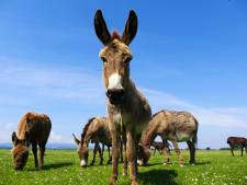 Les ânes menacés par la médecine chinoise