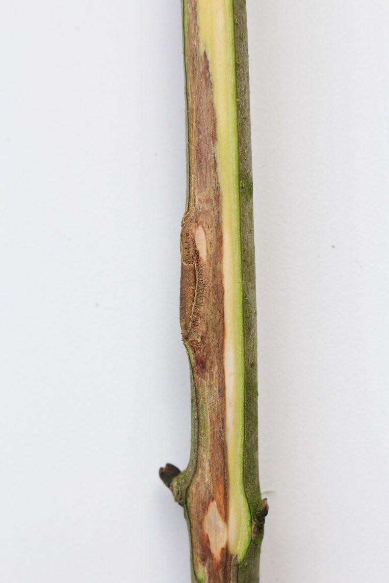 Het resultaat van de kunstmatige infectie; een deel van de bast en het eronder liggende hout (verkleuring) is afgestorven. Beeld Jelle Hiemstra, Wageningen UR