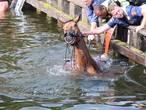Paard duikt kanaal bij Aadorp in