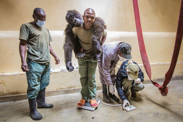 Een verweesde gorilla wordt gewogen bij de Gorilla Doctors. Beeld Marcus Westberg / Life Through A Lens