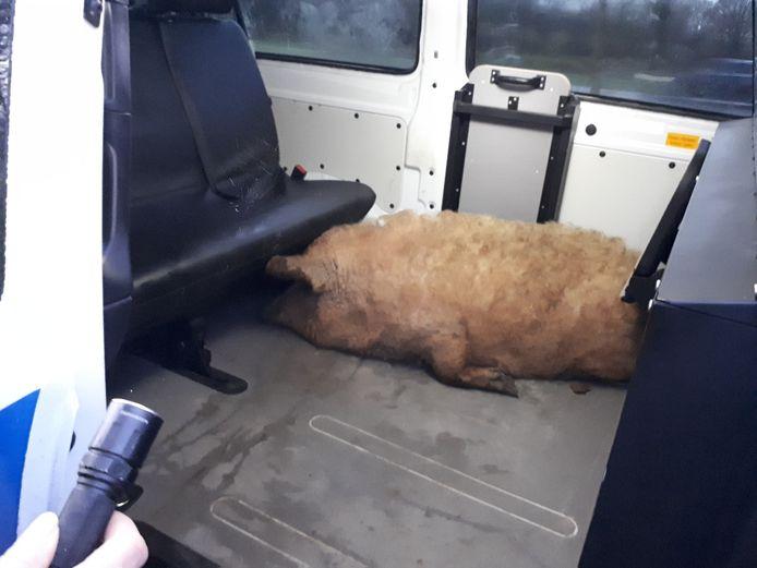 De politie haalde het varken op en bracht het naar een manege.