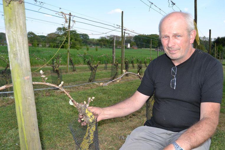 Daniël Vandervaeren van wijngaard Danouise bij de knoppen van zijn planten. Bijna de helft is afgevroren.