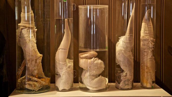 Enkele fallussen van het Icelandic Phallological Museum in formaldehyde.