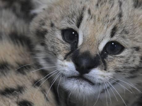 Braaf poesje of ontembaar roofdier? Discussie over Afrikaanse kat als huisdier laait op na Harderwijks incident