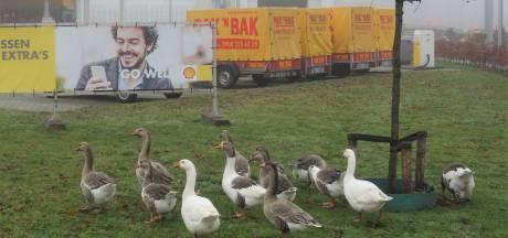 Zwolle overweegt verhuizing voor onveilige ganzenfamilie