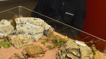 Nest Aziatische hoornaar is blikvanger