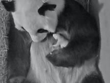 Verwennerij uit China: extra dikke bamboescheuten voor pandamoeder Wu Wen
