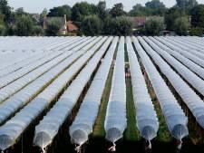 Zo'n 200.000 kilo aardbeien uit Genderen