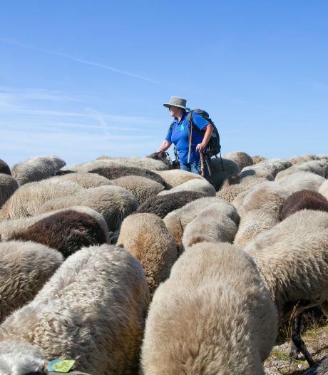 Schaapsherder uit Bornerbroek hoopt op vaste kudde in Engbertsdijksvenen: 'Heide net zoals vroeger onderhouden'