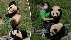 """Pairi Daiza viert eerste verjaardag van pandatweeling: """"Bao Mei heeft het meeste pit. Dat heeft ze van haar moeder"""""""