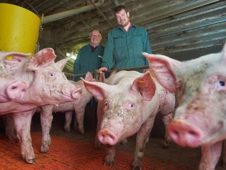 In Venhorst gaan varkens leven als een familie, mét een toilet