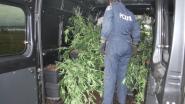 """Man heeft 105 weedplanten in kelder: """"Ik kweekte voor mezelf omdat de drugs te duur werden"""""""