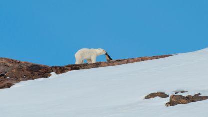 Hongerige ijsberen vaker op zoek naar voedsel in Groenlandse dorpen