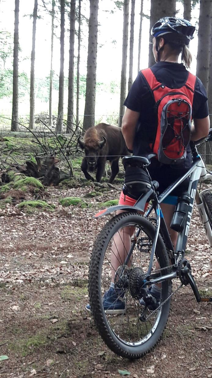 Een ATB-fietser in de Maashorst bekijkt een wisent.
