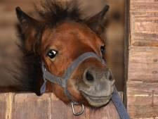 Un poney retrouvé mort par strangulation en Vendée