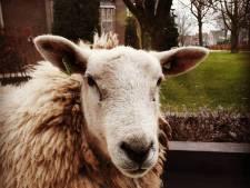 Ontvoering schaap 'vermoedelijk geintje van Urkers'
