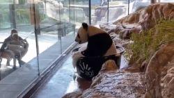 Zoo deelt beelden van reuzenpanda die zichtbaar geniet van schuimbadje
