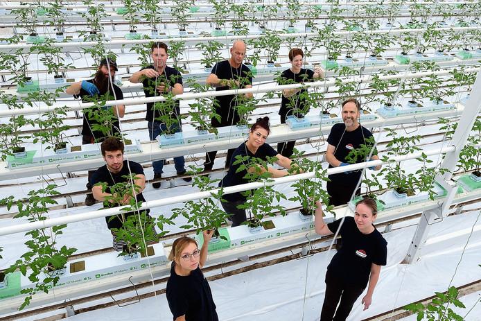 Arbeidsmigranten aan het werk bij een tomatenkweker in Dinteloord.