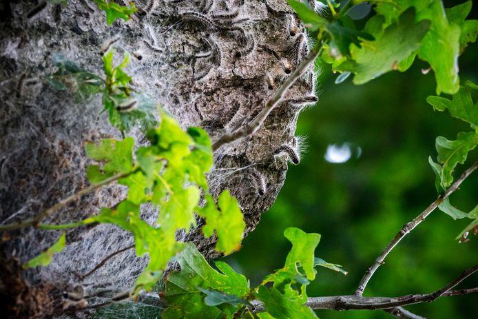 Een nest met eikenprocessierupsen in een eikenboom. De processierups zorgt jaarlijks voor veel overlast. Het middel XenTari is zeer effectief; inmiddels gebruiken bijna alle gemeenten in onze regio het.