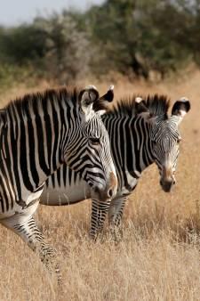 Raadsel waarom zebra's strepen hebben mogelijk opgelost