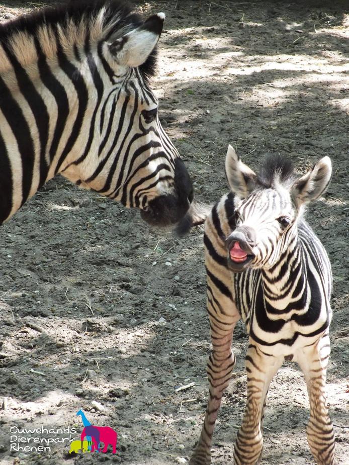 Het donderdag geboren zebraveulen loopt al vrolijk buiten rond in Ouwehand.