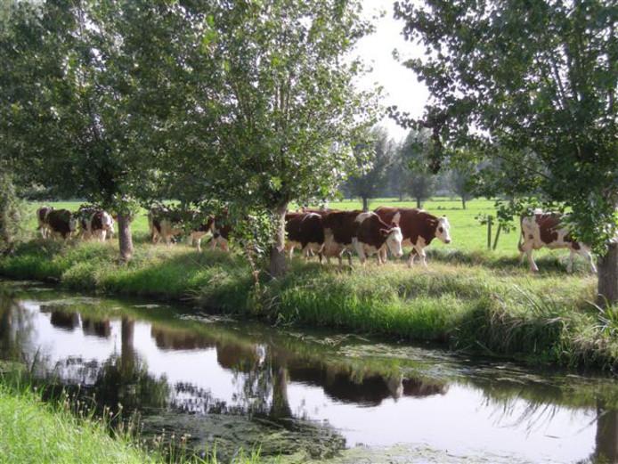 De melkkoeien worden naar binnengehaald. Een beeld dat in het buitengebied van Driebergen steeds minder te zien is.