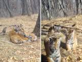 Unieke beelden van zeldzame tijgerwelpjes