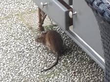 Ratten jagen bewoners Lelystad de stuipen op het lijf: 'Ik ben 's nachts gebeten in mijn wang'