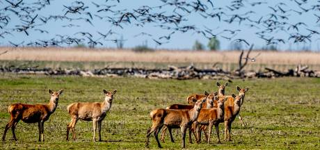 Plan voor anticonceptie bij grote grazers in Oostvaardersplassen afgeschoten