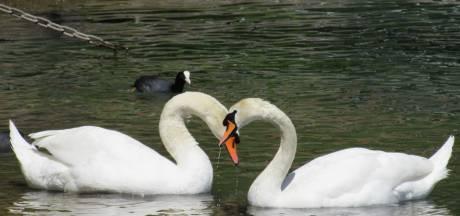 Gewonde zwaan na maand bij vogelopvang herenigd met maatje