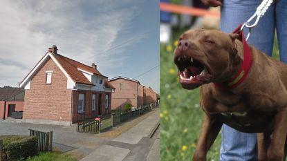 """Dolgedraaide pitbulls bijten zich vast in hals van voetgangster: """"Met stokken en staven op honden moeten slaan om haar te bevrijden"""""""