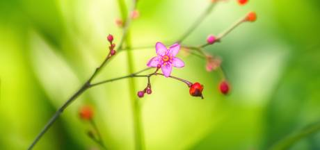 Als je Panax ginseng wilt kweken in eigen tuin, is geduld een schone zaak