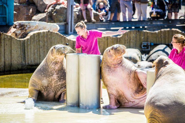 Walrussenshow in het Dolfinarium. Beeld Hollandse Hoogte, Rob Voss
