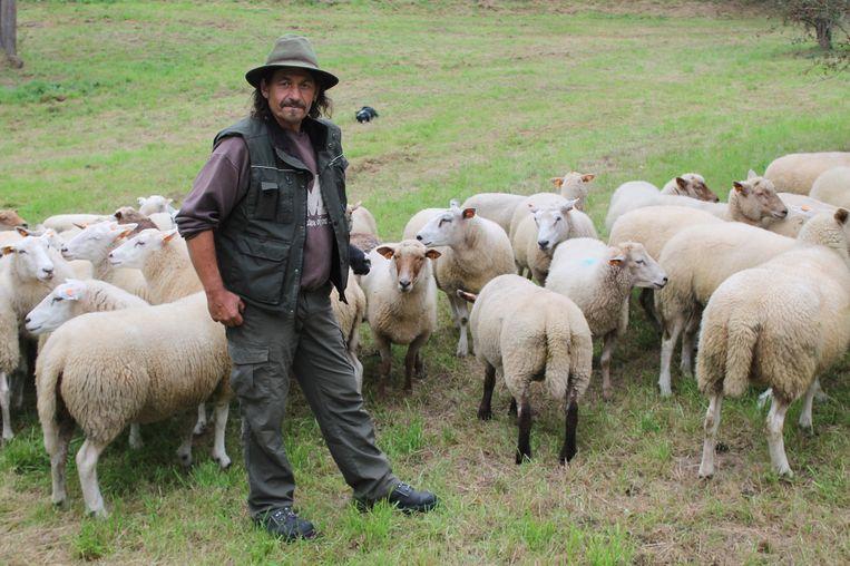 Herder Hugo O met zijn schapen in natuurgebied De Wolfsputten. Na meer dan twee jaar zet hij een punt achter project Herder van het Pajottenland.