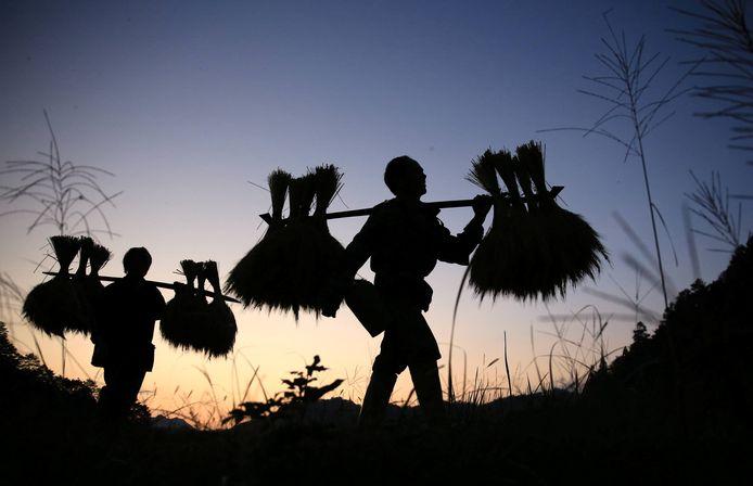 Chinese landarbeiders lopen bij zonsopkomst in een veld tijdens het oogsten van rijpe gewassen in Liuzhou. Foto Stringer