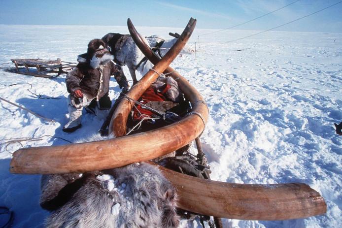 Slagtanden van een mammoet die is gevonden in Siberië.