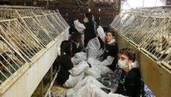 """Al 183 eenden gestorven na inval Animal Resistance in foiegrasboerderij: """"Dieren hebben enorm afgezien"""""""
