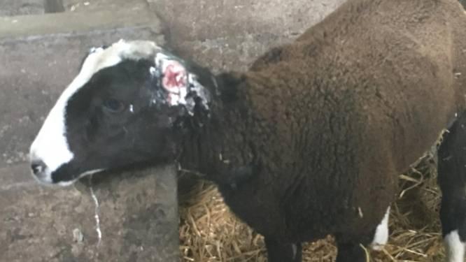 Dierenbeul snijdt oren van schaap af