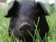 Zwart zwijntje dat voor overlast zorgde op kerkhof in Schijndel is gevangen genomen