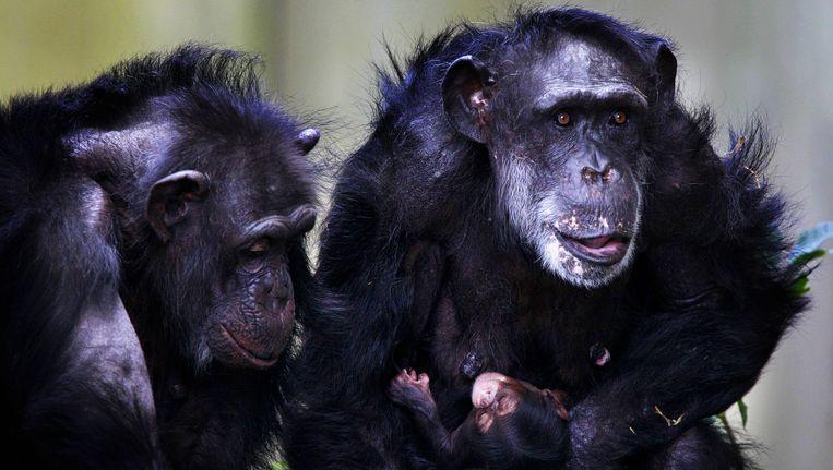 Chimpansees Beeld anp