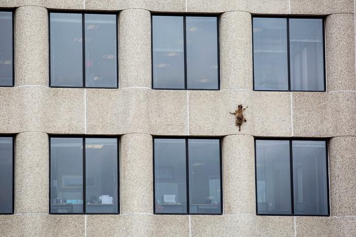 Een wasbeer hangt aan de UBS Tower in Saint Paul,  Minnesota.